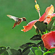 Hibiscus Hummer Poster
