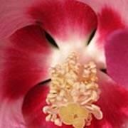 Hibiscus Moscheutos Named Luna Pink Swirl Poster