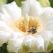 Honey Bee In Cactus Poster