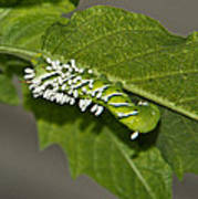 Hornworm With Braconid Wasp Parasites 2 Poster