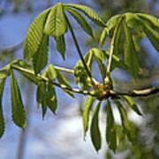 Horse Chestnut (aesculus Hippocastanum) Poster