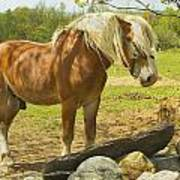 Horse Near Strone Wall In Field Spring Maine Poster