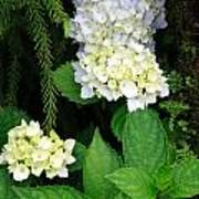 Hydrangea Blooming Poster