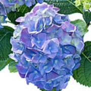Hydrangea (hydrangea Macrophylla) Poster