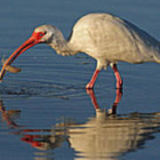 Ibis With Shrimp Poster