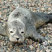 Injured Harbor Seal Poster