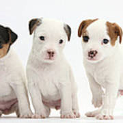 Jack Russell Puppies Poster