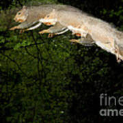 Jumping Gray Squirrel Poster