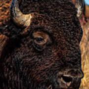Kansas Buffalo Poster