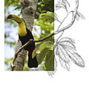 Keel-billed Toucan Poster