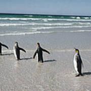 King Penguin Aptenodytes Patagonicus Poster