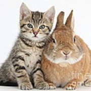 Kitten And Netherland Dwarf-cross Rabbit Poster