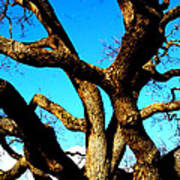 Knarled Oak Tree Poster