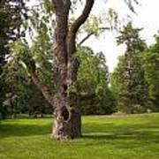 Knurled Tree Poster