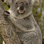 Koala Phascolarctos Cinereus Portrait Poster by Pete Oxford