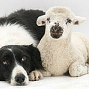 Lamb And Border Collie Poster