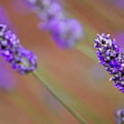 Lavender Portrait Poster