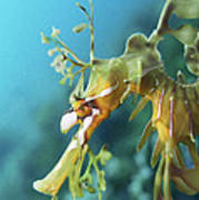 Leafy Sea Dragon Poster by Peter Scoones