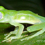 Limon Giant Glass Frog Poster