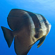 Longfin Spadefish, Papua New Guinea Poster