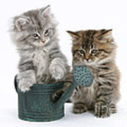 Maine Coon Kitttens Poster