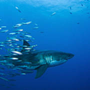 Male Great White Shark And Bait Fish Poster
