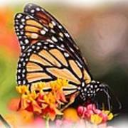 Monarch And Milkweed Poster