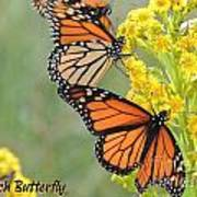 Monarch Butterfly Poster by Laurence Oliver