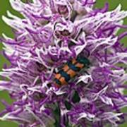 Monkey Orchid (orchis Simia) Poster