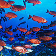 Moontail Bullseye Fish Poster