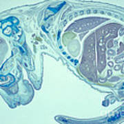 Mouse Embryo Poster