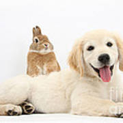Netherland-cross Rabbit And Golden Poster