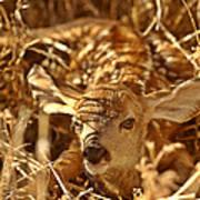 Newly Born Fawn Hiding In A Saskatchewan Field Poster