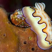 Nudibranch On Orange Sponge, Kimbe Bay Poster