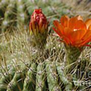 Orange Cactus Flower Poster