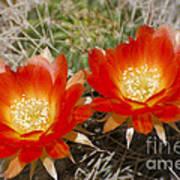 Orange Cactus Flowers Poster
