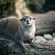 Oriental Small-clawed Otter Poster