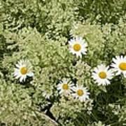 Ox-eye Daisies (leucanthemum Vulgare) Poster