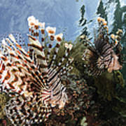 Pair Of Lionfish, Indonesia Poster