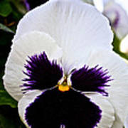 Pansy Face Poster