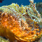 Papuan Scorpionfish Lying On A Reef Poster