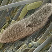 Paramecium Sp. Protozoan, Sem Poster by Power And Syred