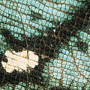 Parsons Chameleon Calumma Parsonii Poster