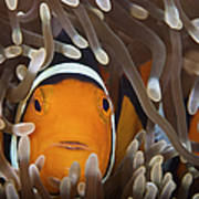 Percula Clownfish In Its Host Anemone Poster