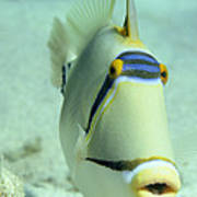 Picasso Triggerfish Poster