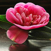 Pink Camellia Poster by Terence Davis