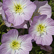 Pink Evening Primrose Wildflowers Poster