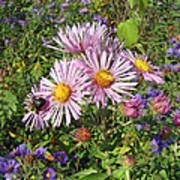 Pink New York Aster- Symphyotrichum Novi-belgii Poster