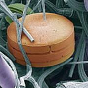 Planktonic Diatom Alga, Sem Poster by Steve Gschmeissner