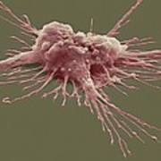 Pluripotent Stem Cell, Sem Poster